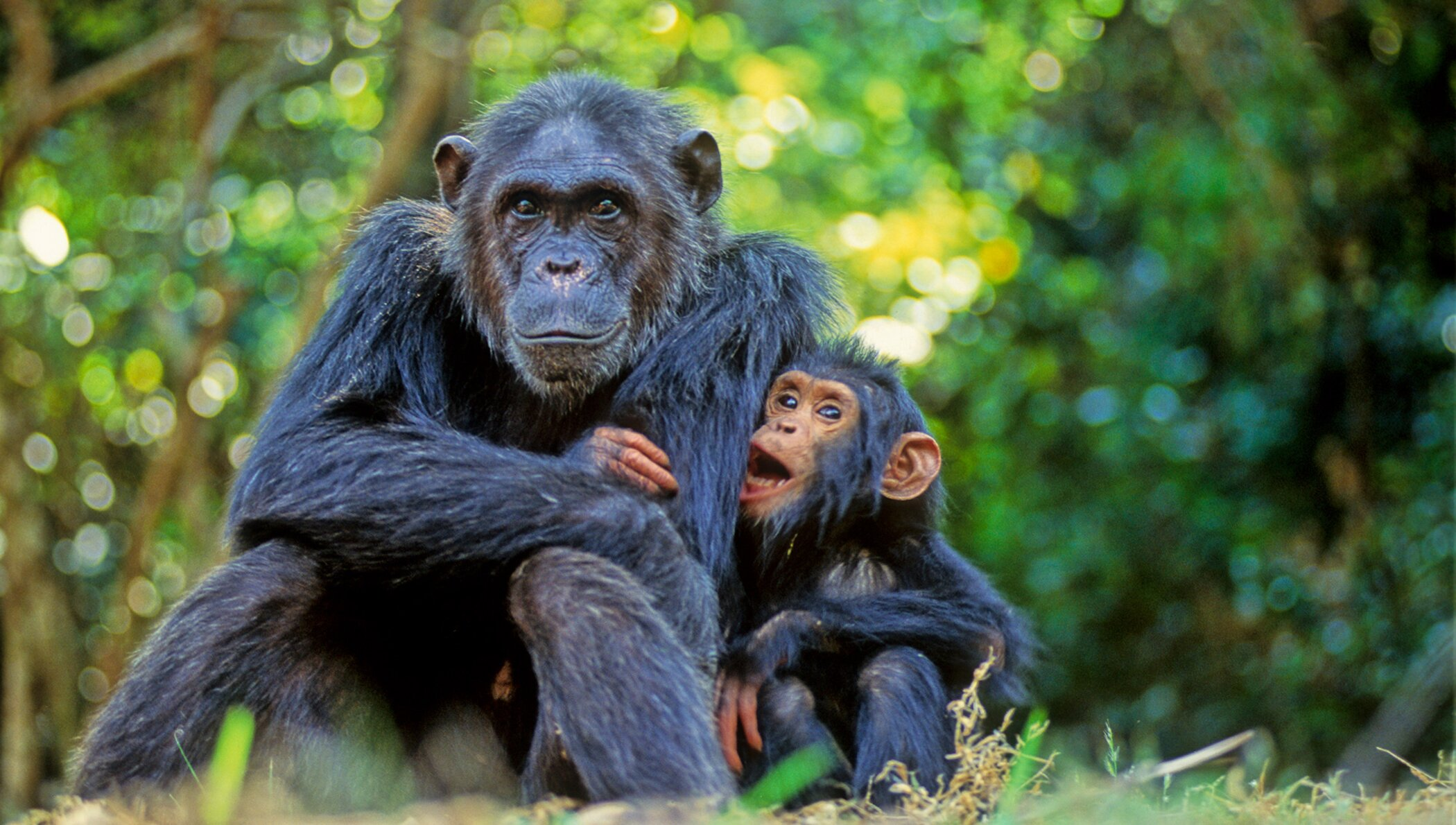 Chimpanzees correct cultural biases about how good mothers behave